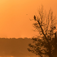 Bald Eagle silhouetted against the dawn