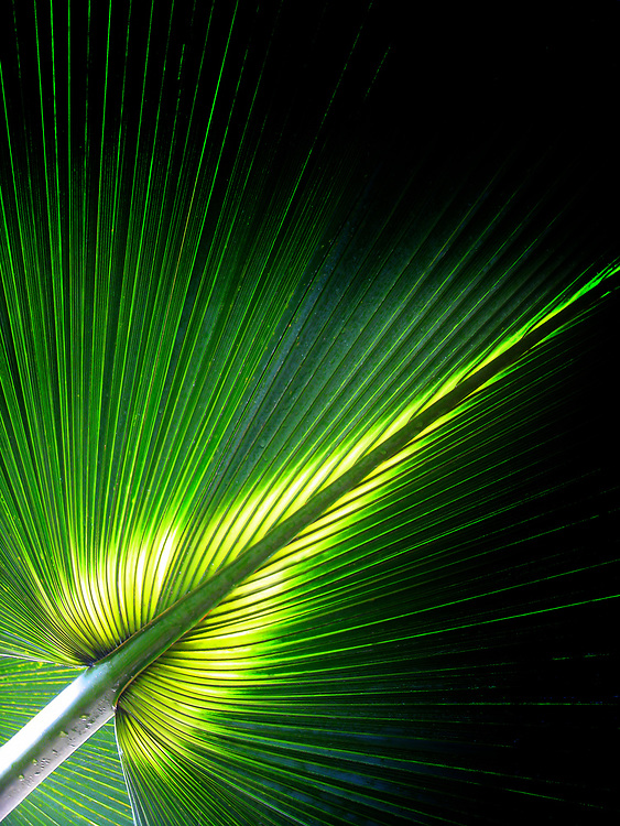 Palm Rays<br />