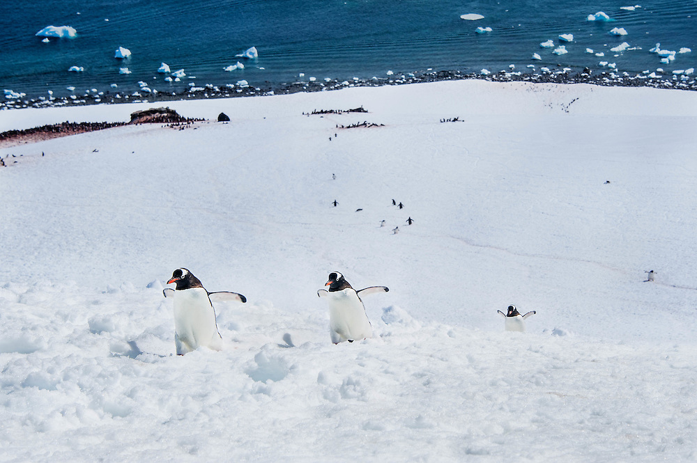 Gentoo penguins, Deco Island, Antarctic Peninsula / Pingüinos juanitos, Isla Deco, Península Antártica