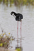 A Hawaiian stilt (Himantopus mexicanus knudseni) preens itself in the Kealia Pond National Wildlife Refuge near Kehei, Maui, Hawaii. The Hawaiian stilt, or ae'o in Hawaiian, is an endangered subspecies of the black-necked stilt and has the longest legs in proportion to its body of any bird in the world. Kealia Pond National Wildlife Refuge is a coastal salt marsh. During the rainy winter season, the pond swells to more than 400 acres. It shrinks to about half that size in the dry summer, leaving a slaty residue behind as it dries out.