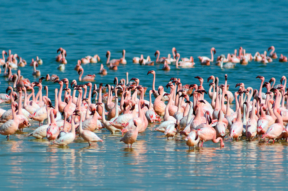 Lesser Flamingo (Phoenicopterus minor), Kamfers Dam, Kimberley, Northern Cape, South Africa