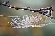 The morning dew lets us appreciate the beauty of this spider web on an Apple branch. Middletown, Delaware
