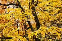 Beech Trees In Fall Color, Green Mountain National Forest, Granville, Vermont