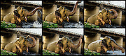 16th May 2014, Yamuna River, New Delhi, India. A six image series as an elephant sprays water over itself with its trunk under a bridge in the Yamuna River, New Delhi, India on the 16th May 2014<br /> <br /> Elephant handlers (Mahouts) eke out a living in makeshift camps on the banks of the Yamuna River in New Delhi. They survive on a small retainer paid by the elephant owners and by giving rides to passers by. The owners keep all the money from hiring the animals out for religious festivals, events and weddings, they also are involved in the illegal trade of captive elephants. The living conditions and treatment of elephants kept in cities in North India is extremely harsh, the handlers use the banned 'ankush' or bullhook to control the animals through daily beatings, the animals have no proper shelters are forced to walk on burning hot tarmac and stand for hours with their feet chained together. <br /> <br /> PHOTOGRAPH BY AND COPYRIGHT OF SIMON DE TREY-WHITE + 91 98103 99809<br /> email: simon@simondetreywhite.com<br /> Photographer in Delhi