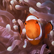 INDONESIA. Bali, Tulamben. July 16th, 2013. Perched at 18-meters, a small, feisty and territorial anemone fish stands on guard to protect its home. Drop Off divesite.