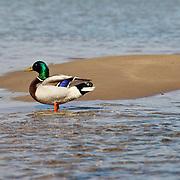 """""""Mallard Duck"""" 3"""