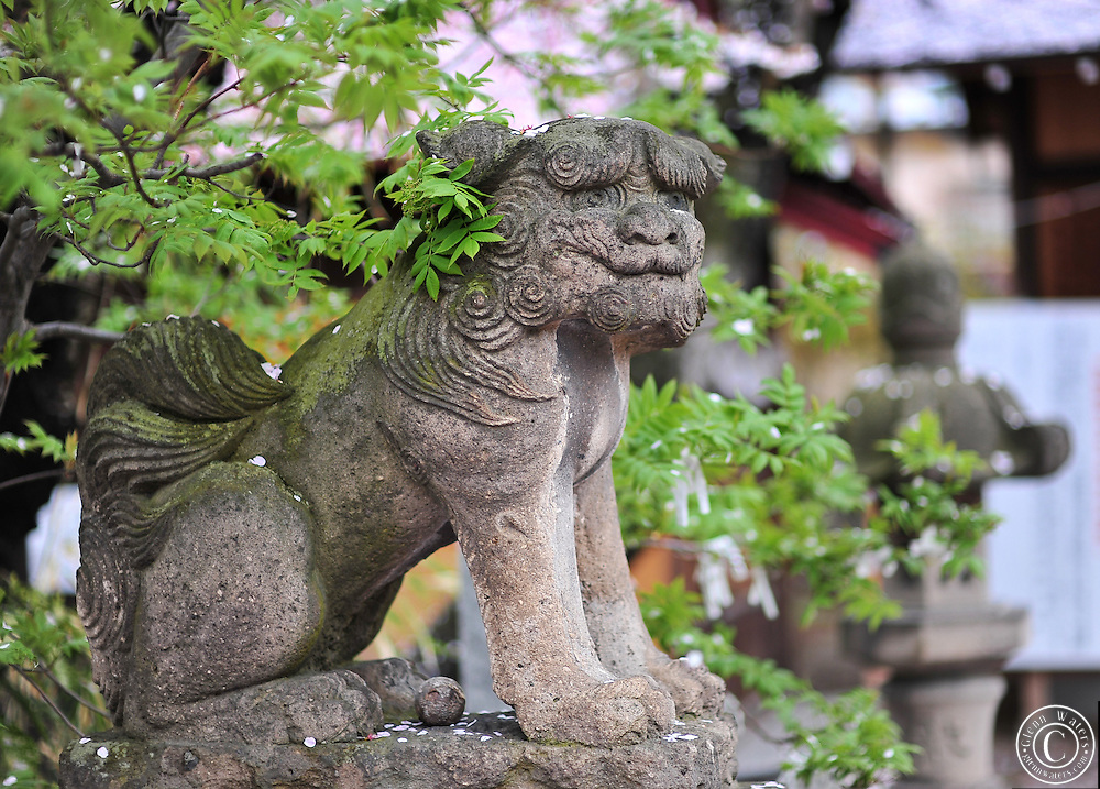Lion dog in the spring. Cherry blossoms are falling. A small shinto shrine in Hirosaki, northern Japan.
