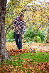 Clearing leaves from a lawn using a tine rake