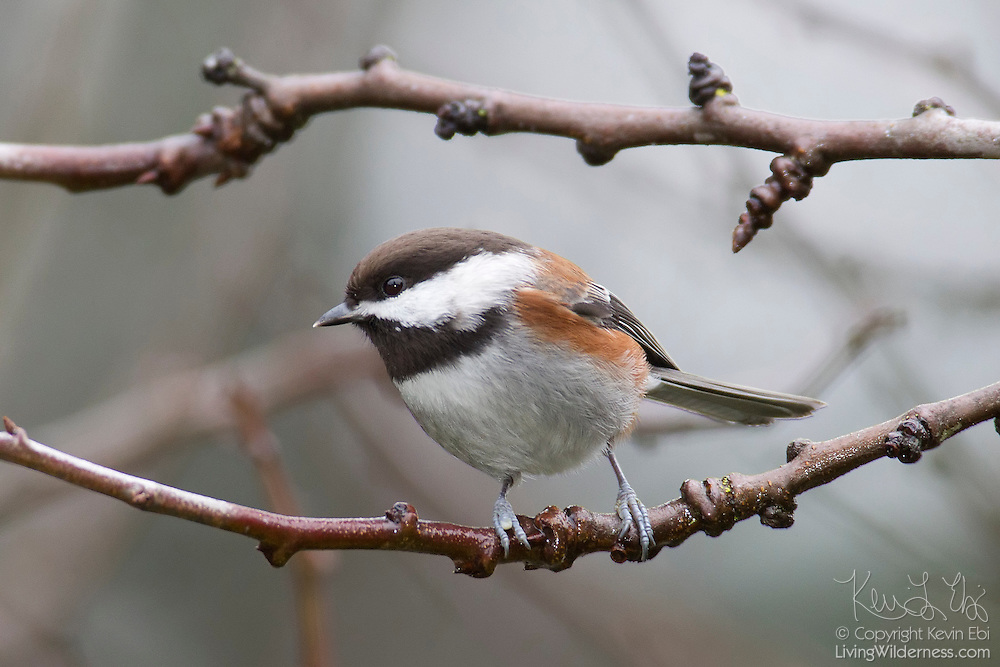 A chestnut-backed chickadee (Poecile rufescens) rests on a bare branch in winter. The songbird is found in the northern half of the United States and southern half of Canada. In winter, it primarily feeds on seeds. In summer, it feeds mostly on insects, especially caterpillars.