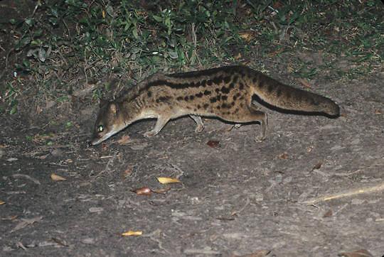Malagasy Civet, (Fossa Fossana) Madagascar. Ronamafana Preserve.