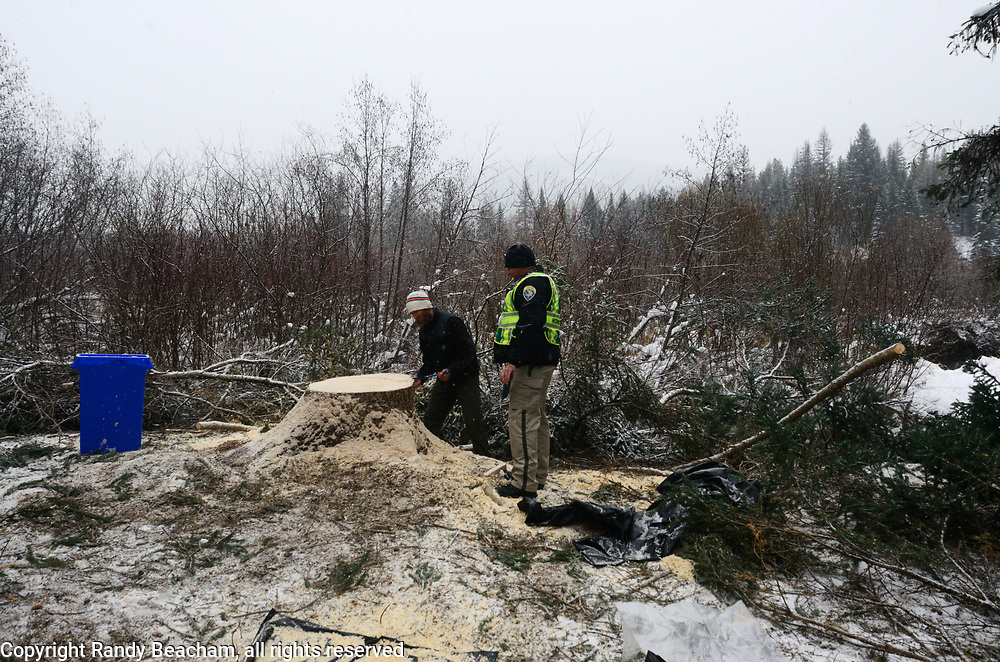After the 2017 Capital Christmas tree, an engelmann spruce, was cut down along the Yaak River at the Historic Upper Ford Ranger Station in the upper Yaak Valley. Kootenai National Forest in the Purcell Mountains, northwest Montana.