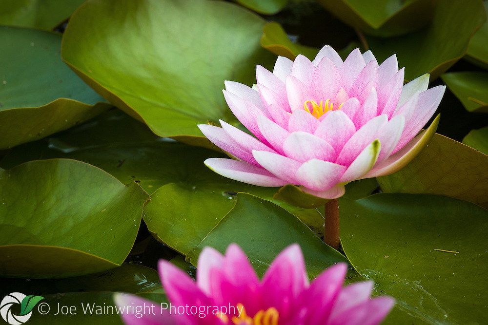 Water lilies in a Welsh garden pond.