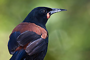 Maori legend says that the Maori god Maui became angry with the saddleback because he didn't bring him water when Maui was lassoing the sun to slow it down.   Maui grabbed the tieke with his fiery hand and burnt its feathers. From that day the saddleback wore a chestnut-red 'saddle'.