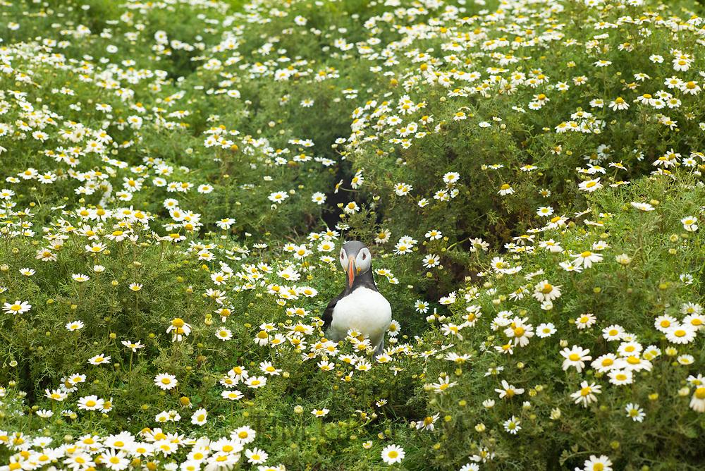 Puffin - pelagic seabird, Fratercula, on land in breeding season on island of Skomer, National Nature Reserve, South West Wales