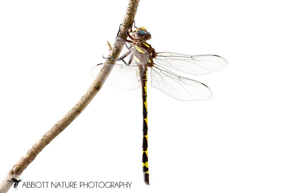 Arrowhead Spiketail (Cordulegaster obliqua) - male<br /> TEXAS: Jasper Co.<br /> Boykin Springs Recreational Area; Angelina National Forest, Pitcher Plant Bog<br /> 7-April-2016<br /> J.C. Abbott &amp;  K.K. Abbott #2792