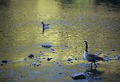 Wildlife: Geese