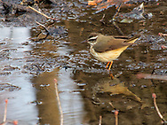 Waterthrush in the Ramble of Central Park