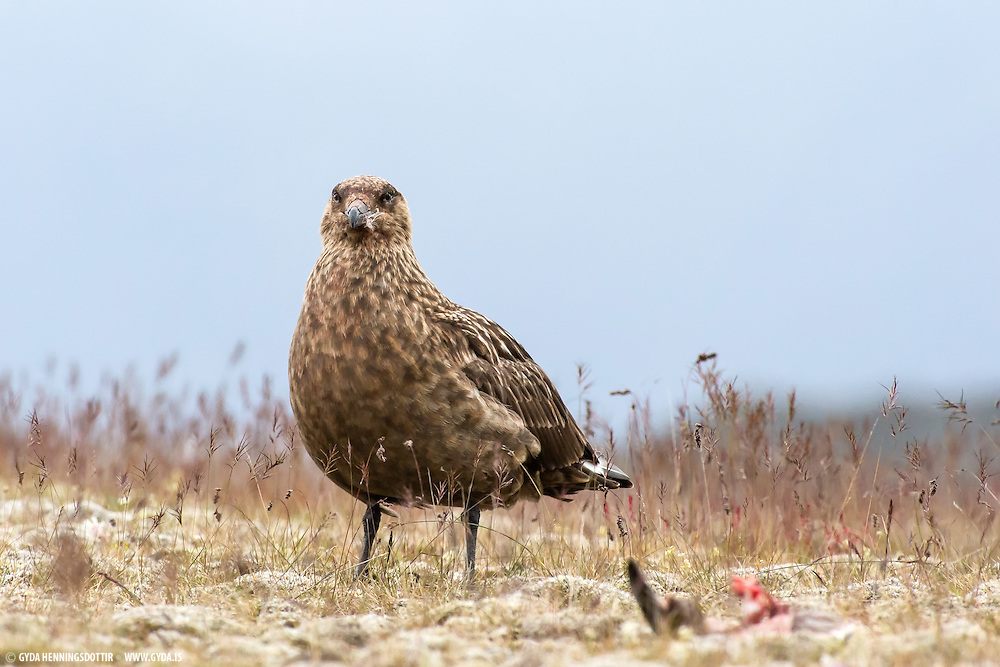 The Great Skua breeds in Iceland, Norway, the Faroe Islands and the Scottish  islands, with a few on mainland Scotland. It breeds on coastal moorland and rocky islands, usually laying two spotted olive-brown eggs in grass-lined nests. Like other skuas, it will fly at the head of a human or other intruder approaching its nest. These photos are taken at Ingólfshöfði, South-Iceland