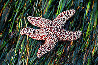 A purple star fish on a bed of sea grass in the tide pools on the Oregon coast