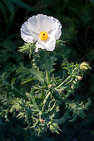 White Prickly Poppy (Argemone albiflora), Gillispie County, Texas