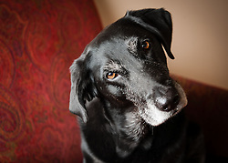 Black labrador retriever dog photography