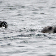 A pair of curious Southern Elephant seals poke up through the water near Livingston Island in the South Shetland Islands, Antarctica.