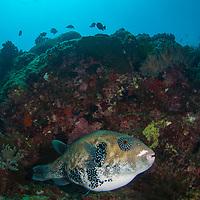 Blue-Spotted Puffer, Arothron caeruleopunctatus, Tenggol Island, Tanjong Jara Resort, Terengganu, Malaysia.