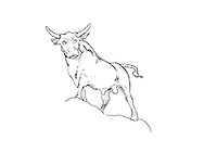 a bull watching at us a free hand drawn, clean editable vector representing a bull