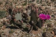 Beaver-tail cactus in full bloom in the Anza-Borrego Desert.  California