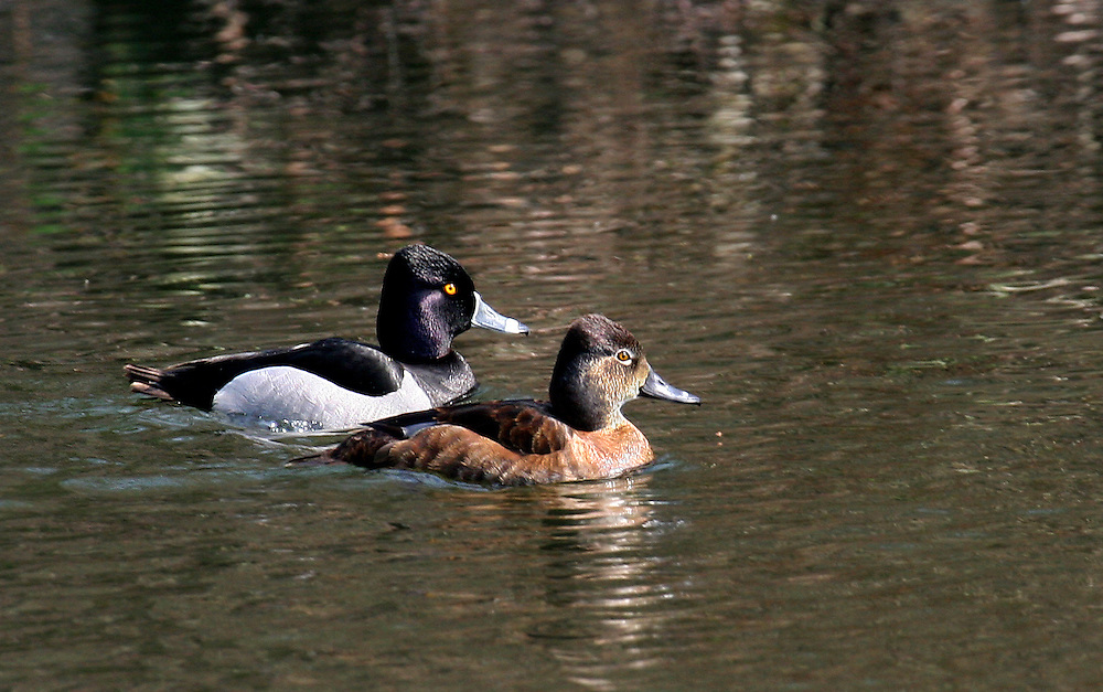 A mated pair of ring necked ducks.