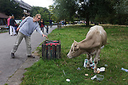 A calf stops foraging on a visitor's picnic as a man drops his litter into a nearby bin.