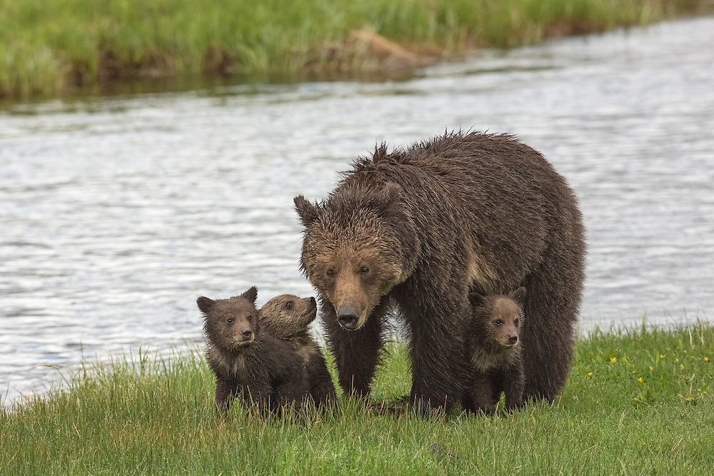 A young grizzly sow and her three cubs-of-the-year make their way along the Gibbon River in Yellowstone National Park. These tiny bear cubs probably weigh no more than ten pounds each, but should reach forty pounds when they again den with their mother during the late fall.