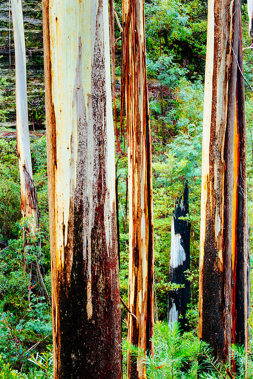 Sydney Blue Gums (Eucalyptus saligna) growing in a shaded gully of the Blue Mountains National Park.