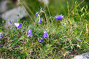 Alpine wildflower, Common Campanula or harebell (campanula rotundifolia) Photographed in Austria, Tyrol