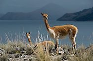South America, Peru, Lake Titicaca, Suasi Island,  Vicuna; mammal; animal; wildlife