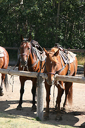 Horses used for trail riding near the Glacier Park Lodge, Glacier National Park, Montana.