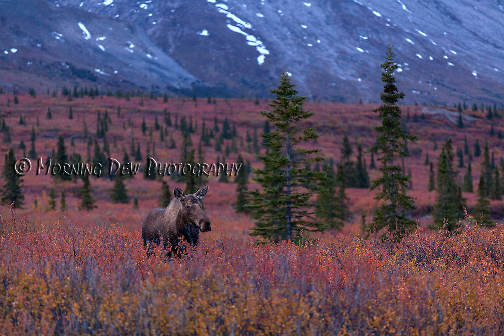 A female moose walks through the fall brush of Denali National Park.