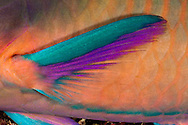 A close look at the pectoral fin of a black-veined parrotfish, Male, Scarus rubroviolaceus, at night, Tubbataha Reef, Philippines.
