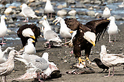 Adult bald eagles give gulls a threatening look as they eat fish scraps on the beach at Anchor Point, Alaska.