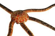 Glatter Schlangenstern oder Brauner Schlangenstern (Ophioderma longicauda) | (Ophioderma longicauda)
