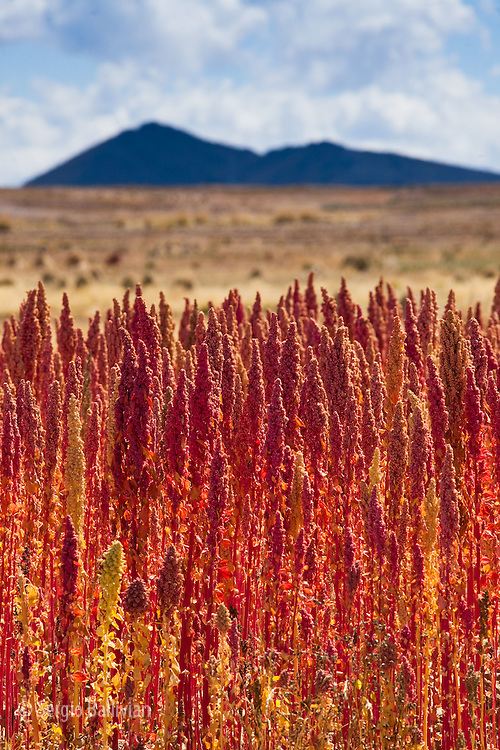 Red Quinoa is ripe and ready to harvest  on Bolivia's high-altitude Altiplano region next to the Andes mountains.  This protein-rich grain is a staple in the Andes and is an incredible source of protein and minerals for people who generally have a poor diet based on grains and starchy carbohydrates.