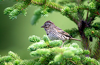 Song Sparrow (Melospiza melodia), Muskwa-Kechika, British Columbia, Canada   Photo: Peter Llewellyn