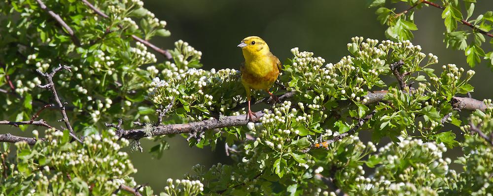 Yellowhammer, New Zealand