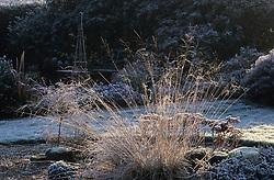 Sunlight highlighting Deschampsia on a frosty winter morning.