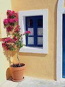 bougainvillea plant in pot, purple flowers, blue frame window
