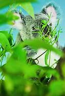 A koala bear stares straight into the camera whilst eating green leaves at Australia Zoo