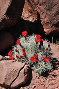 A delicate Claret Cup Cactus in bloom contrasted by the harsh red rock of Canyonlands National Park, Utah.