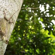 Blanford's Gliding Lizard (Draco blanfordii) in Kaeng Krachan national park, Thailand