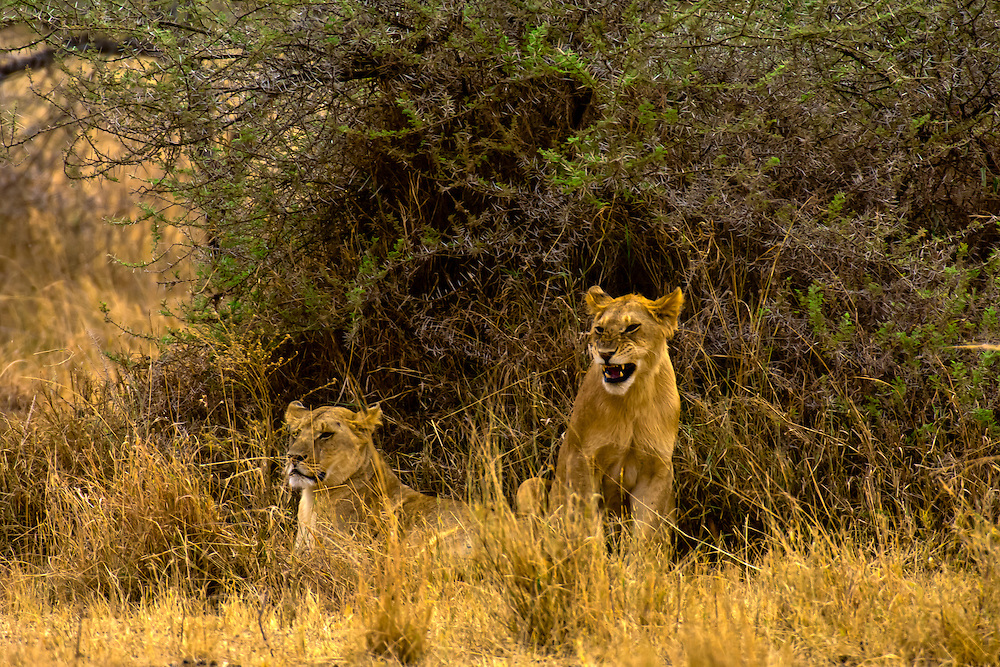 A pride of lions, Serengeti National Park, Tanzania