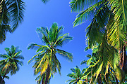 Coconut palm tree<br />